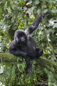 Young Mountain gorilla (Gorilla beringei beringei) playing in tree, Virunga National Park, Rwanda