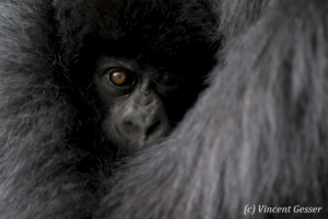 Young Mountain gorilla (Gorilla beringei beringei) hidden in the arms of his mother, Virunga National Park, Rwanda