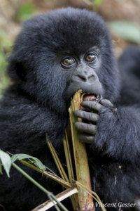 Young Moutain gorilla (Gorilla beringei beringei) feeding, Virunga National Park, Rwanda