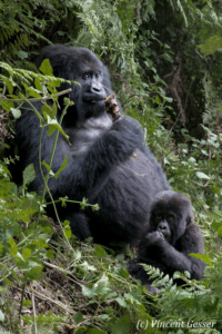 Mountain gorilla (Gorilla beringei beringei) mother and young feeding, Virunga National Park, Rwanda