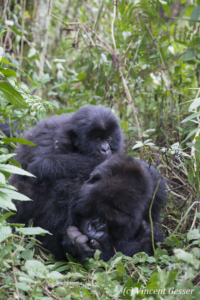 Mountain gorilla (Gorilla beringei beringei) mother resting on ground with young on her back, Virunga National Park, Rwanda