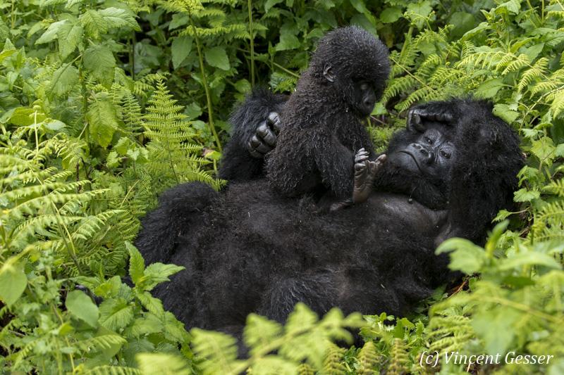 Mountain gorilla (Gorilla beringei beringei) mother resting on ground with young on her tummy, Virunga National Park, Rwanda