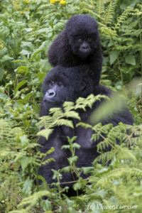 Mountain gorilla (Gorilla beringei beringei) mother walking with young on her shoulders, Virunga National Park, Rwanda