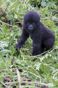 Very young Mountain gorilla (Gorilla beringei beringei) standing, Virunga National Park, Rwanda