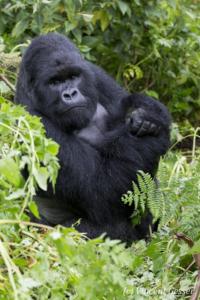 Mountain gorilla (Gorilla beringei beringei) silverback portrait, Virunga National Park, Rwanda