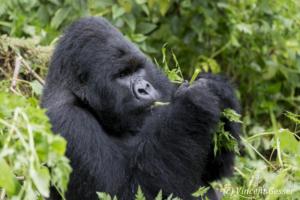 Mountain gorilla (Gorilla beringei beringei) silverback feeding, Virunga National Park, Rwanda