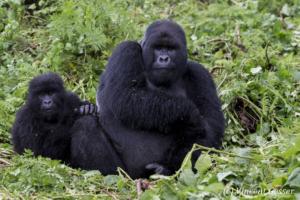 Gorille montagne 050 _DX_3025