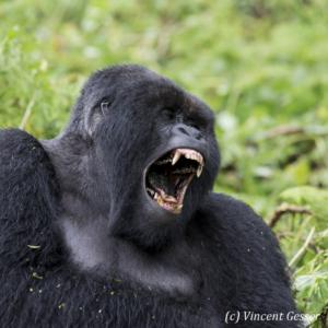 Mountain gorilla (Gorilla beringei beringei) silverback yawning, Virunga National Park, Rwanda