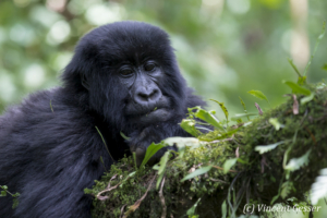 Young Moutain gorilla (Gorilla beringei beringei) resting on a branch, Virunga National Park, Rwanda