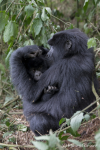 Mother Mountain gorilla (Gorilla beringei beringei) grooming young, Virunga National Park, Rwanda