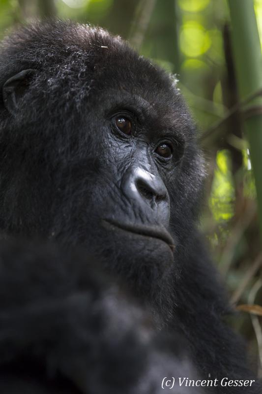 Female Mountain gorilla (Gorilla beringei beringei) portrait, Virunga National Park, Rwanda