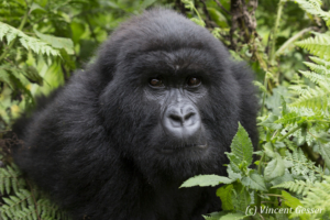 Inquisitive young Moutain gorilla (Gorilla beringei beringei), Virunga National Park, Rwanda