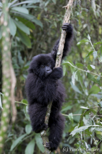 Young Mountain gorilla (Gorilla beringei beringei) playing on liana, Virunga National Park, Rwanda