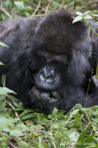 Old female Mountain gorilla (Gorilla beringei beringei) thinking, Virunga National Park, Rwanda