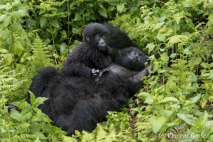 Mountain gorilla (Gorilla beringei beringei) mother resting on ground with young on her tummy, Virunga National Park, Rwanda