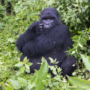 Mountain gorilla (Gorilla beringei beringei) silverback sitting, Virunga National Park, Rwanda