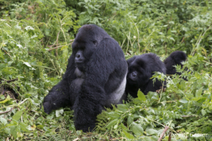 Female Mountain gorilla (Gorilla beringei beringei) grooming silverback, Virunga National Park, Rwanda