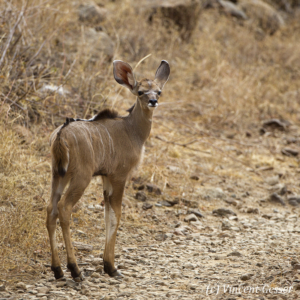 Very young Greater Kudu (Tragelaphus strepsiceros) looking back, Lake Bogoria National Reserve, Kenya