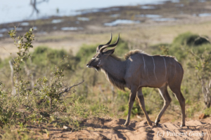 Greater Kudu (Tragelaphus strepsiceros) walking, Chobe National Park, Botswana