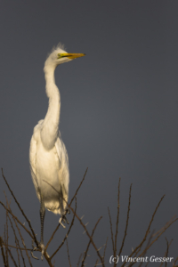 Great Egret on a dark sky on Lake Baringo, Kenya, 1
