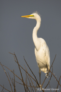 Great Egret on a dark sky on Lake Baringo, Kenya, 2