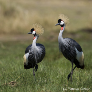 Couple of crested-cranes 3
