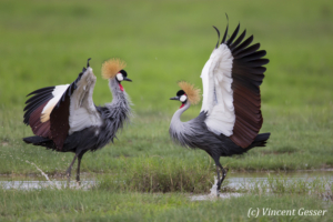 Couple of crested-cranes  (Balearica regulorum gibbericeps) in courtship, Amboseli National Park, Kenya, 2