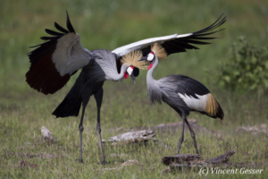 Couple of crested-cranes  (Balearica regulorum gibbericeps) in courtship, Amboseli National Park, Kenya, 11
