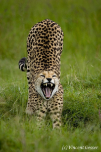 Cheetah (Acinonyx jubatus) stretching, Masai Mara National Reserve, Kenya