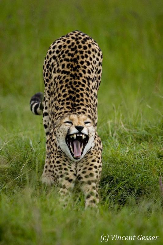 Cheetah (Acinonyx jubatus) stretching, Masai Mara National Reserve, Kenya