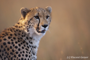 Adult cheetah (Acinonyx jubatus) portrait, Masai Mara National Reserve, Kenya