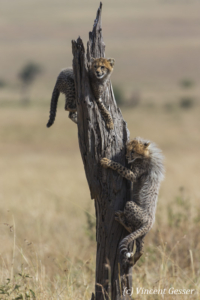 Two young cheetahs (Acinonyx jubatus) on tree, Masai Mara National Reserve, Kenya