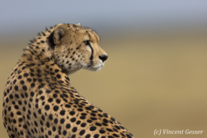 Cheetah (Acinonyx jubatus) looking back, Masai Mara National Reserve, Kenya