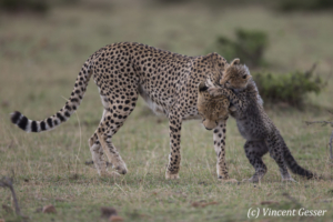 Cheetah (Acinonyx jubatus) cub jumping on its mother, Masai Mara National Reserve, Kenya