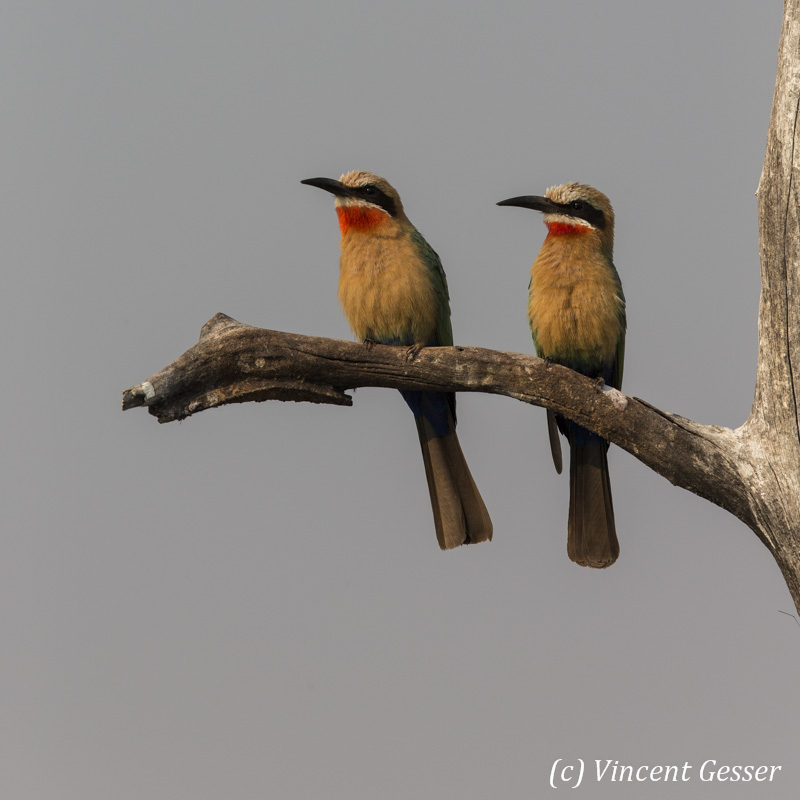 Two White-fronted Bee Eaters (Merops bullockoides) on a branch, Lake Kariba, Zimbabwe, 2