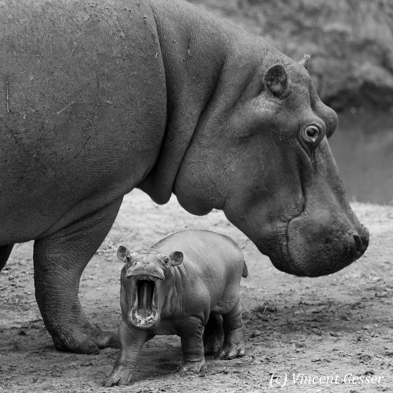 Hippopotamus (Hippopotamus amphibius) mother with baby show off its teeth, Masai Mara National Reserve, Kenya