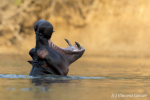 Hippopotamus (Hippopotamus amphibius) yawning at sunsets in hippo pool of Mana Pools NP, Zimbabwe, 5