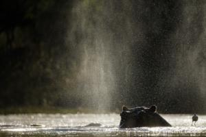 Silhouette of Hippopotamus (Hippopotamus amphibius) spraying water, Moremi National Park, Botswana