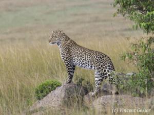 Leopard (Panthera pardus) standing in rain, Masai Mara National Reserve, Kenya