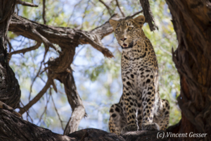 Leopard (Panthera pardus) observing from a branch, Khwai Concession, Botswana