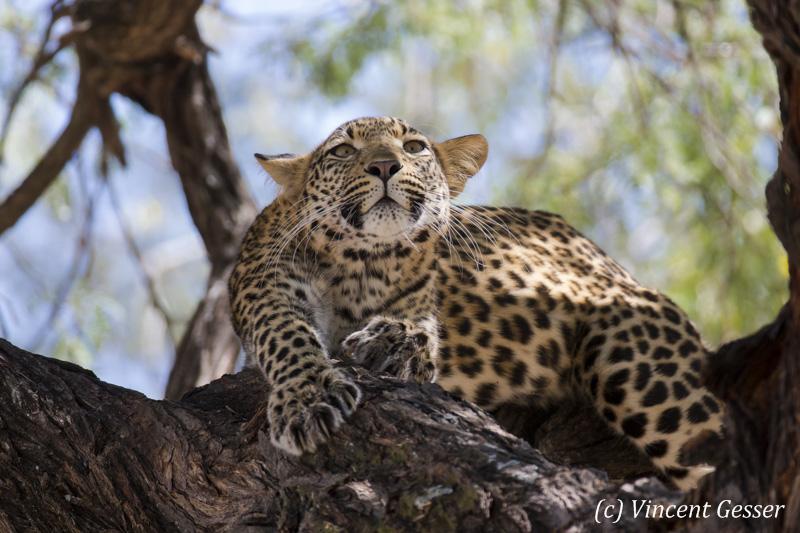 Leopard (Panthera pardus) stretching on a branch, Khwai Concession, Botswana
