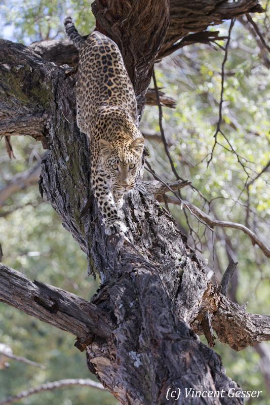 Leopard (Panthera pardus) walking down on a branch, Khwai Concession, Botswana