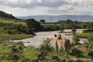 Lion (Panthera leo) observing the Mara river, Masai Mara National Reserve, Kenya