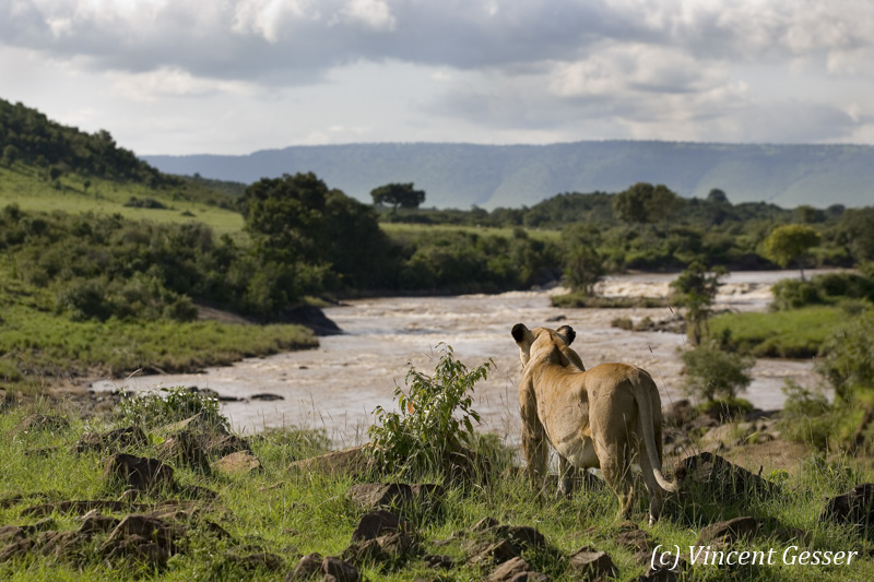 Lion (Panthera leo) observing the Mara river, Masai Mara National Reserve, Kenya