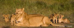 Family of Lions (Panthera leo) in the morning sun, Masai Mara National Reserve, Kenya