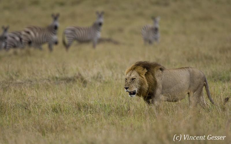 Lion (Panthera leo) walking, observed by zebras (Equus quagga burchellii), Masai Mara National Reserve, Kenya