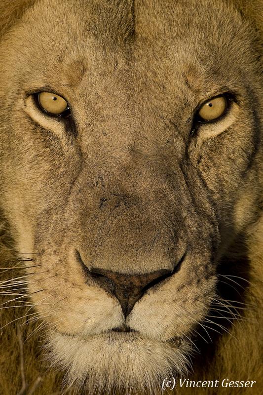 Close up Lion (Panthera leo) portrait, Masai Mara National Reserve, Kenya