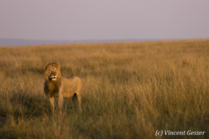 Lion (Panthera leo) scanning the plain, Masai Mara National Reserve, Kenya