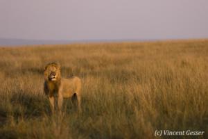 Lion (Panthera leo) scanning the plain, Masai Mara National Reserve, Kenya