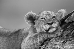 Sleepy young Lion (Panthera leo) on a fallen tree, Tarangire National Park, Tanzania